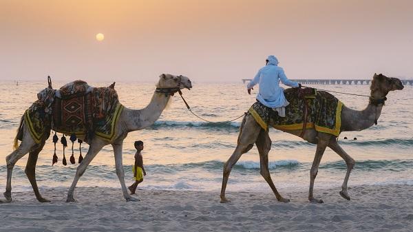 camels4
