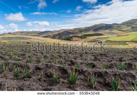 stock-photo-vegetation-in-the-high-andes-of-ecuador-metres-553643248