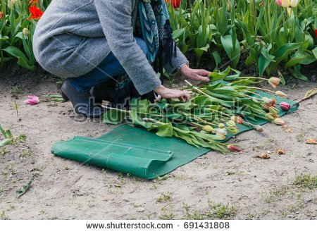 stock-photo-woman-sorting-tulips-on-the-ground-691431808