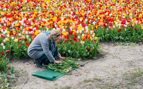 The Flower Bulb Region is where you should go if you want to see the world renowned Dutch flowers with your own eyes. This is the area where tulip farmers grow their flowers, yielding beautiful vistas every spring and summer. When the tulips bloom, you can enjoy big colorful fields. Explore the region by bicycle or stroll through the Keukenhof