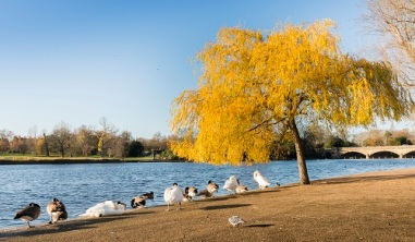 Ducks on the edge of Serpentine Lake in Hyde Park, London
