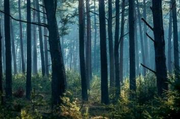 Pine trees (shot by Alan Brentnall) (1)