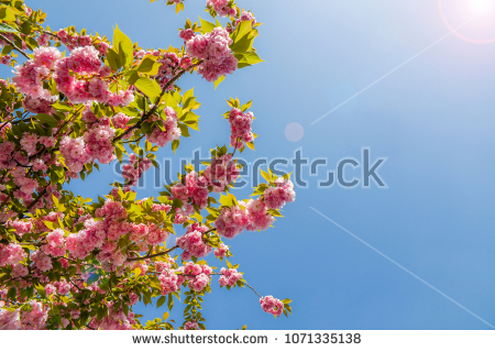 stock-photo-beautiful-cherry-blossom-sakura-in-spring-time-over-blue-sky-with-sun-flare-1071335138