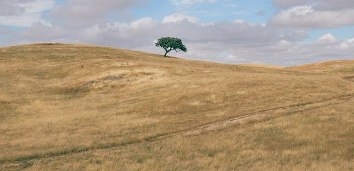 Minimalist panorama of a rolling hilly plowed field with solitary suber cork oak tree, Quercus Suber, captured at Portugal's Alentejo region